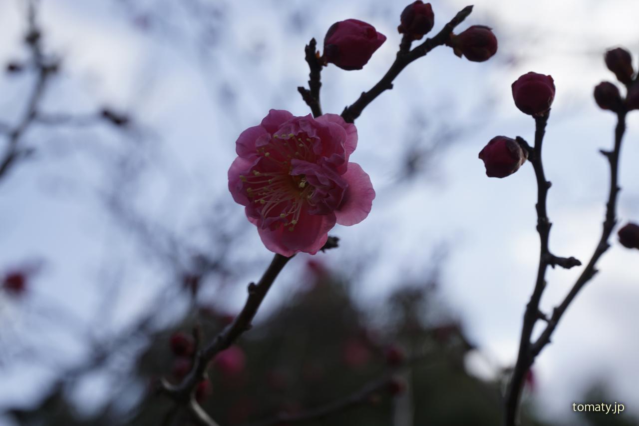 智積院 梅の花